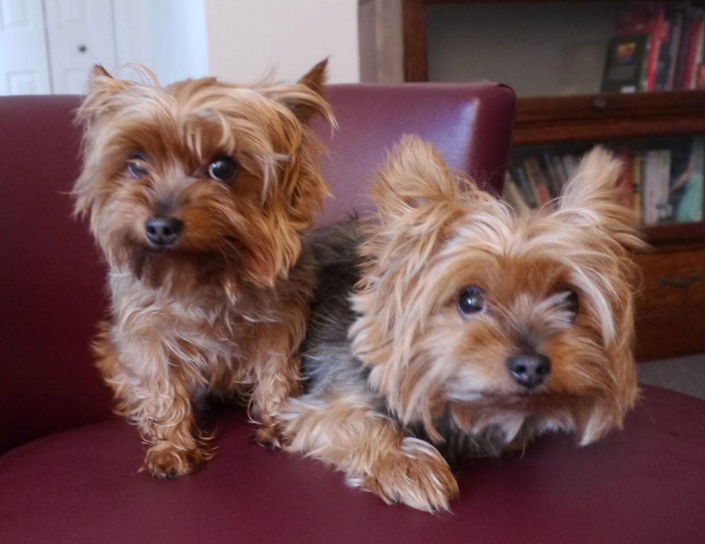 Specializing in tiny breeds - chihuahua, maltese, yorkshire terriers, poodles and of course our favourite breed - rescued!
