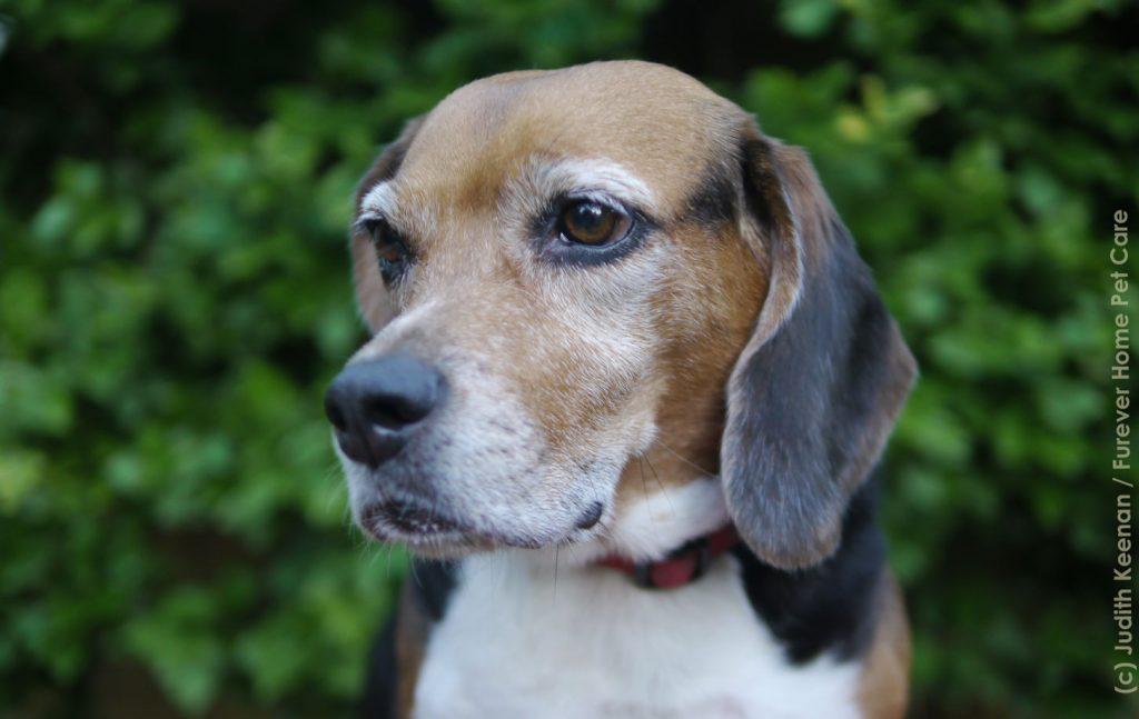 beagle dog boarding
