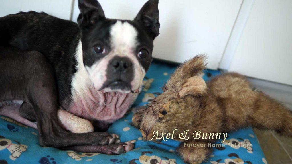 boston terrier pet care