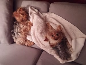 yorkies dogs in boarding