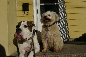 jolene and macey dogs in boarding