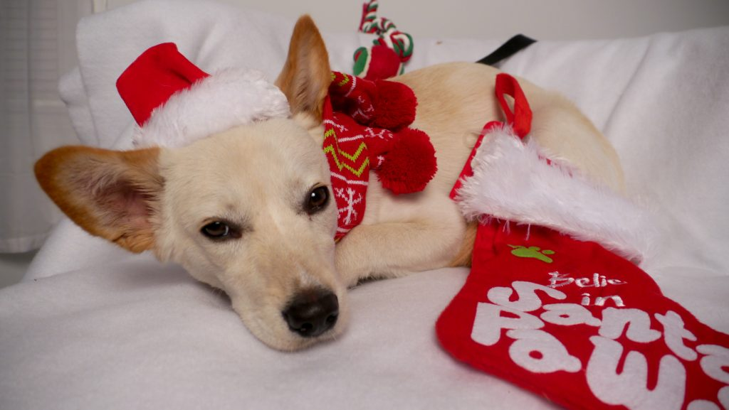 korean jindo dog santa paws