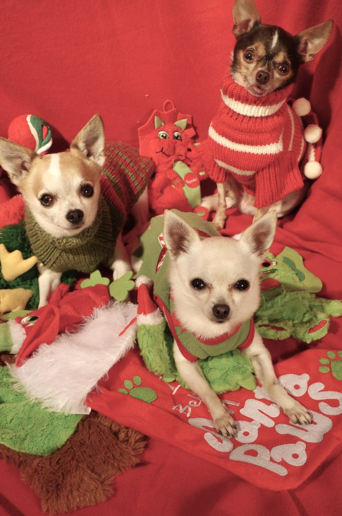 chihuahua holiday dogs