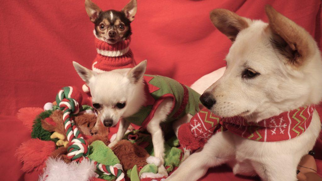 jindo holiday dog