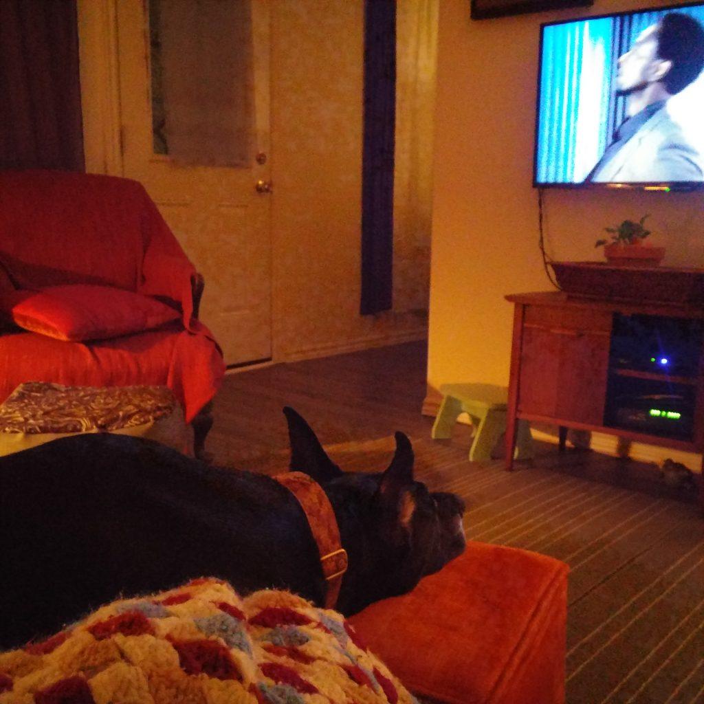 Great Dane watches tv