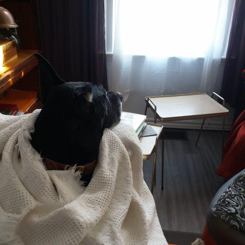 great dane dog care window