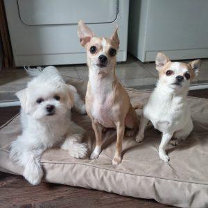 jack chihuahua dog daycare