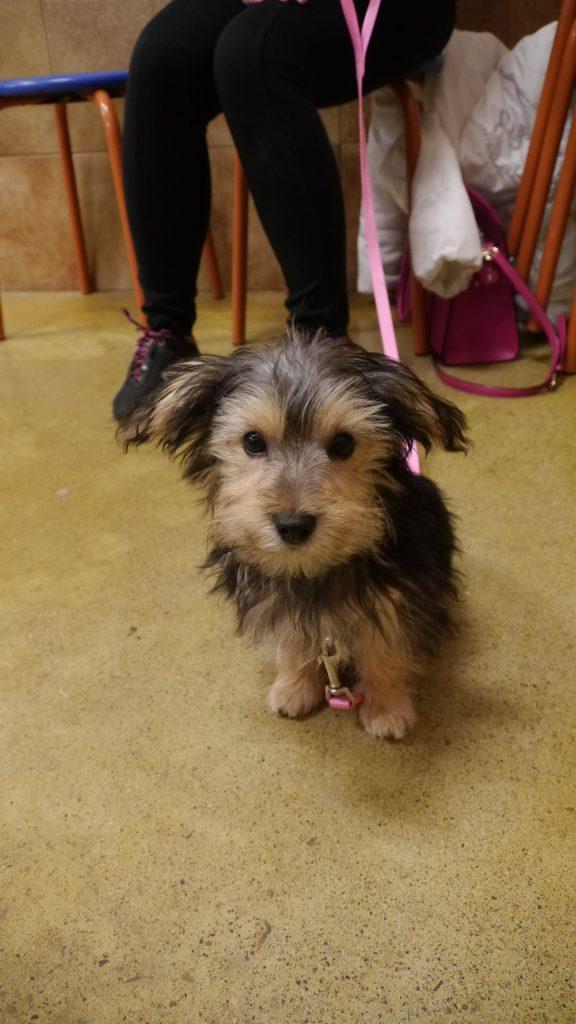 puppy training class yorkie