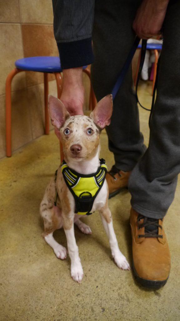 puppy training class rat terrier