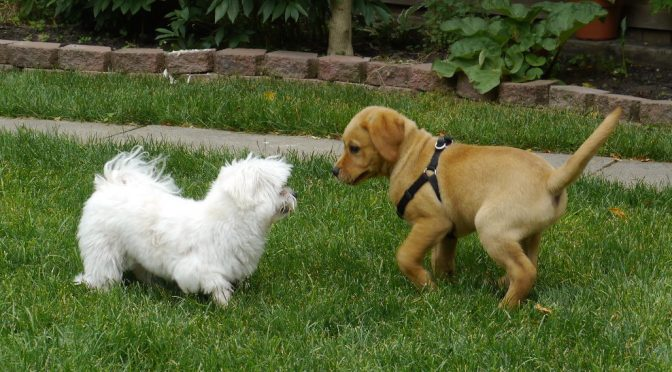 Puppy Play Dates – Summer 2020