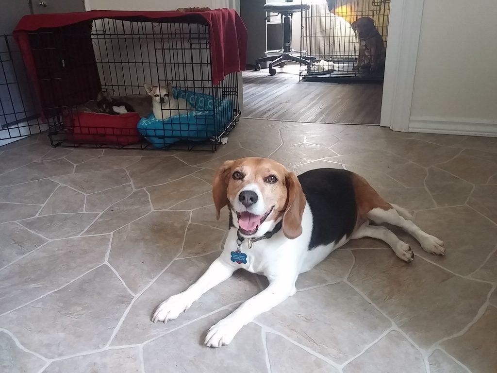 dog daycare Beagle lady