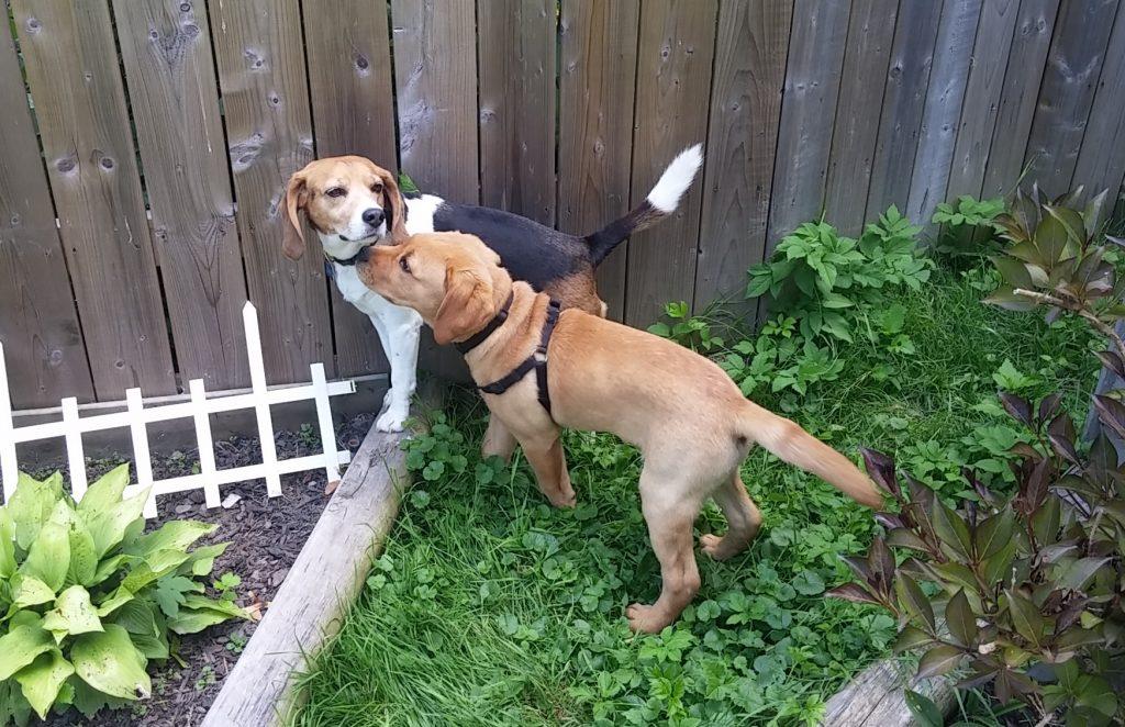 puppy beagle dog daycare