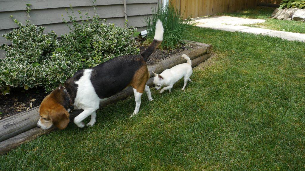 beagle chihuahua dog daycare