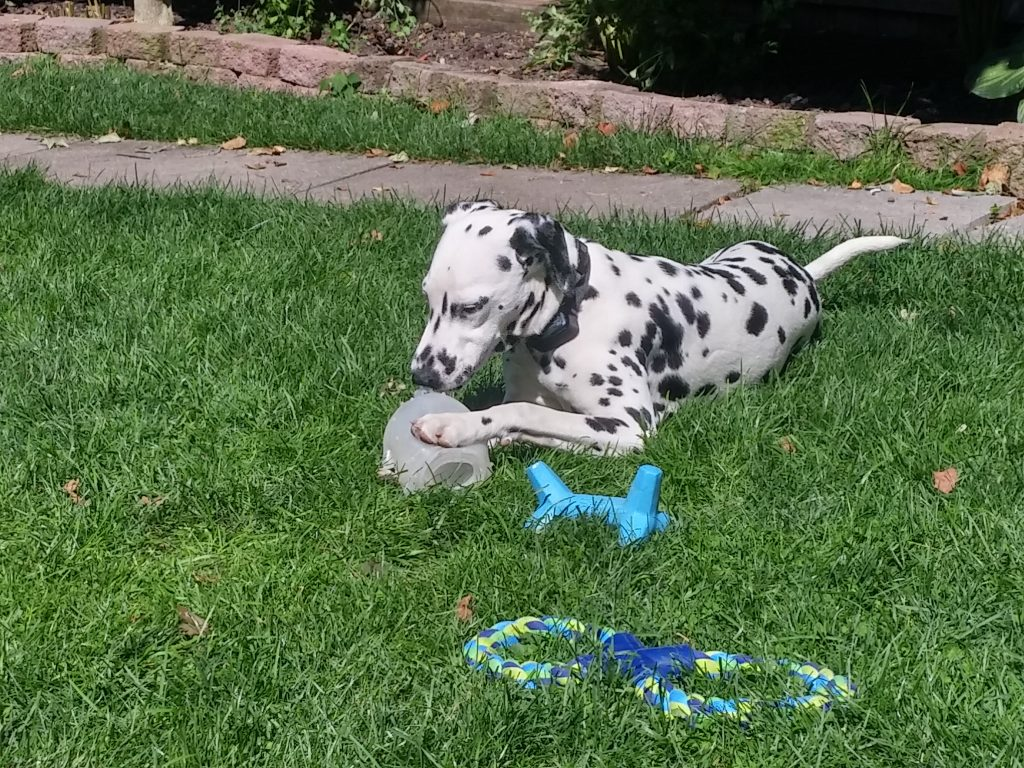 dalmatian dog boarding