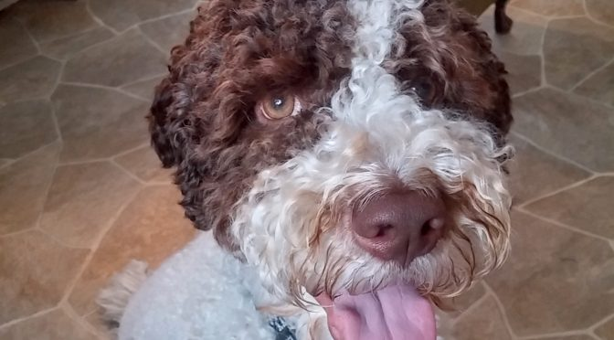 Mr. Lagotto Romagnolo