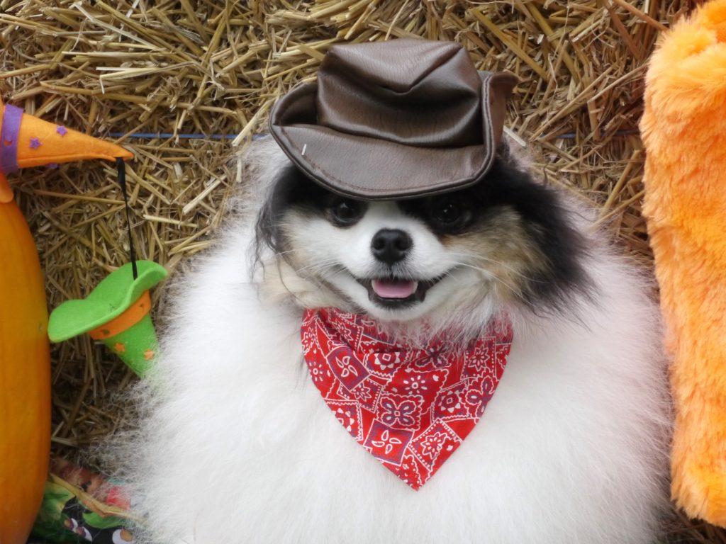 dog halloween bandit cowboy