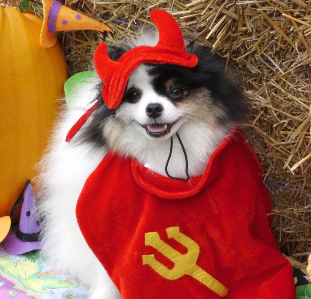 dog halloween bandit devil
