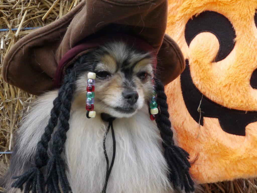 dog halloween aussie pirate