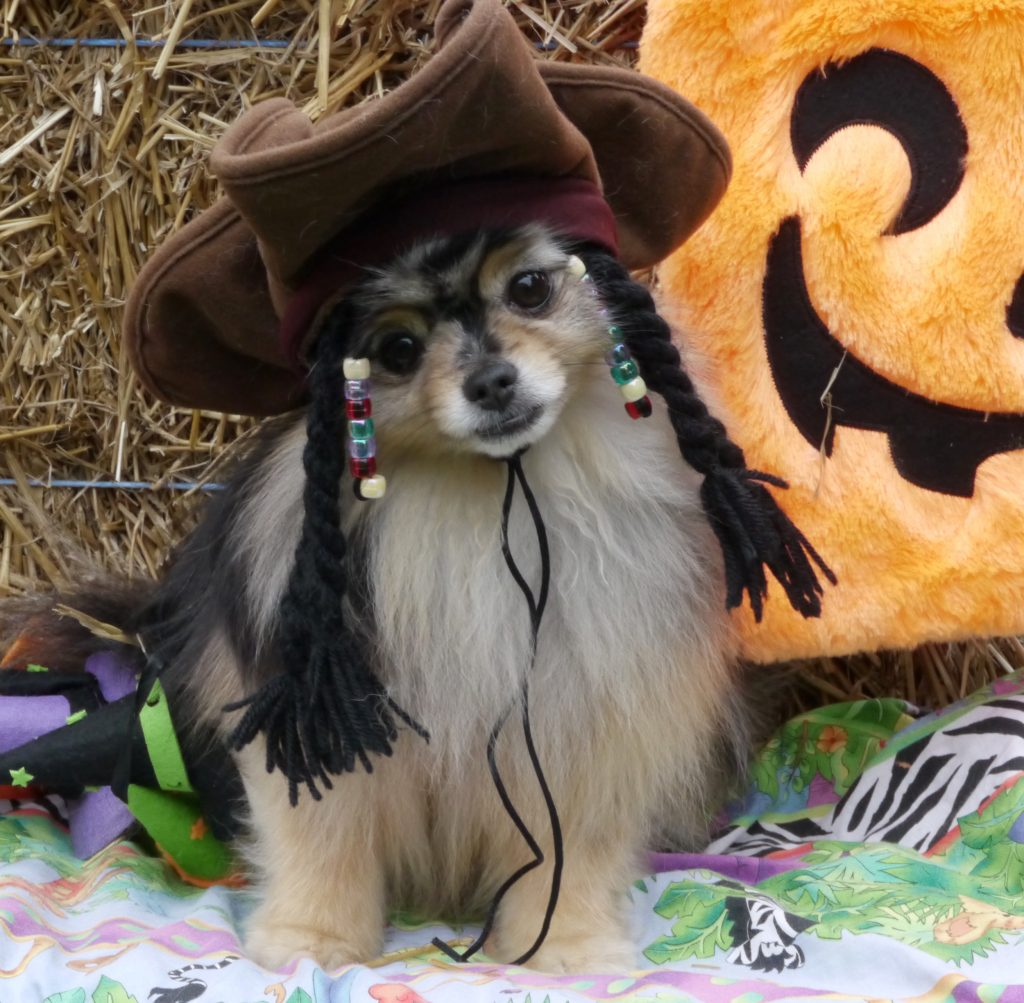dog halloween captain jack