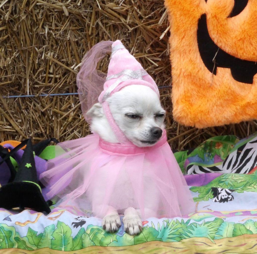 dog halloween pricess jill