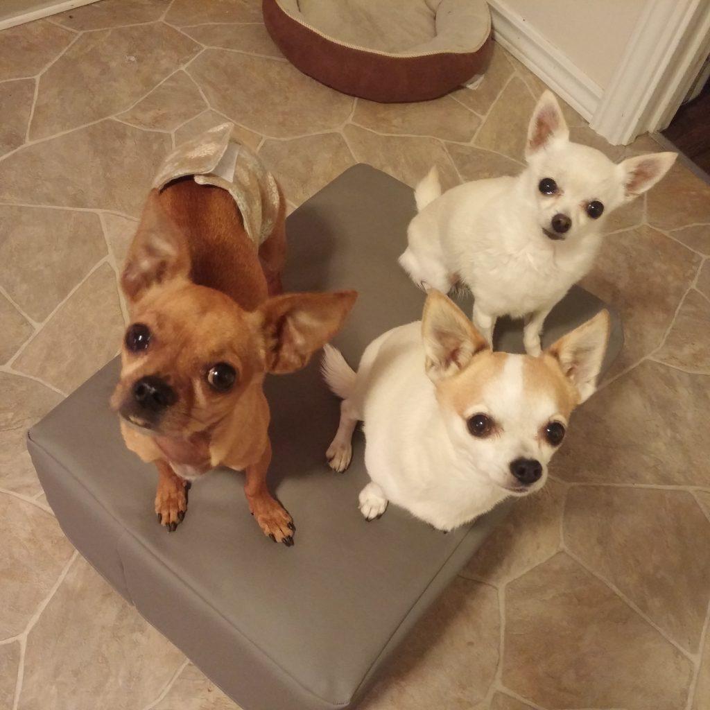 group chihuahua dog boarding
