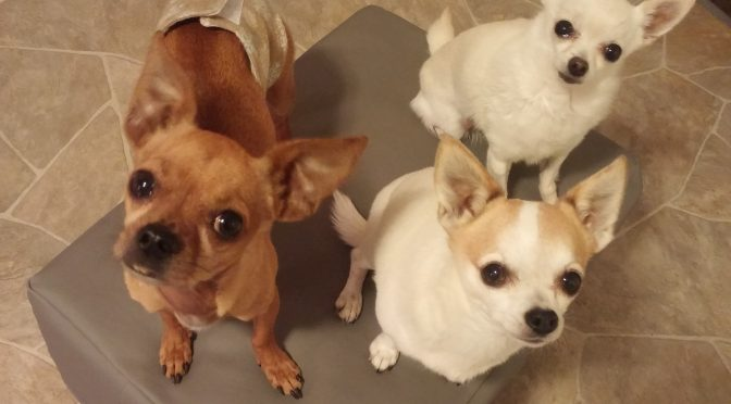 Chihuahua Dog Boarding Haven
