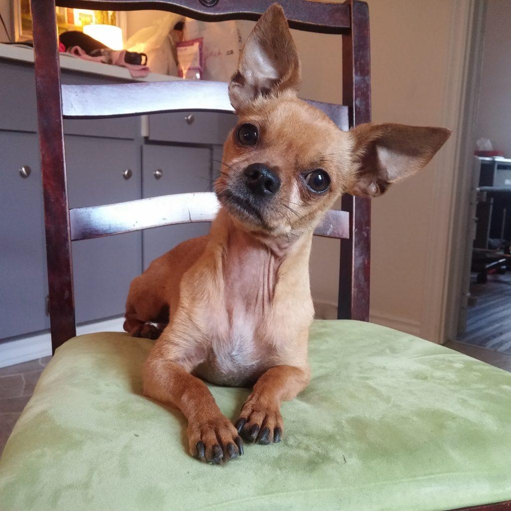 chihuahua dog boarding
