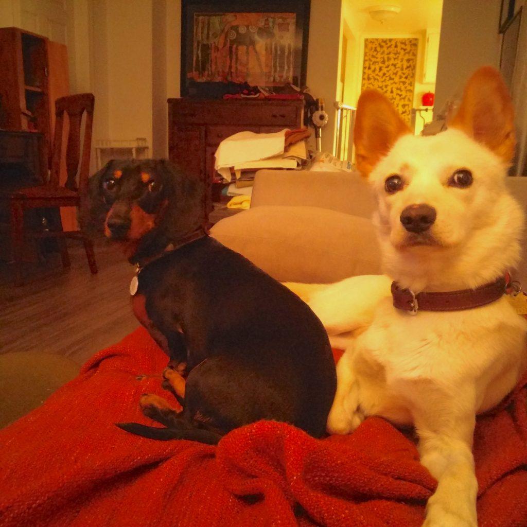 dachshund jindo friends