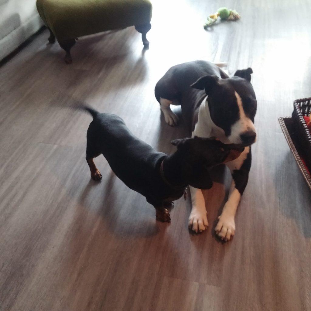 dachshund dog boarding friend