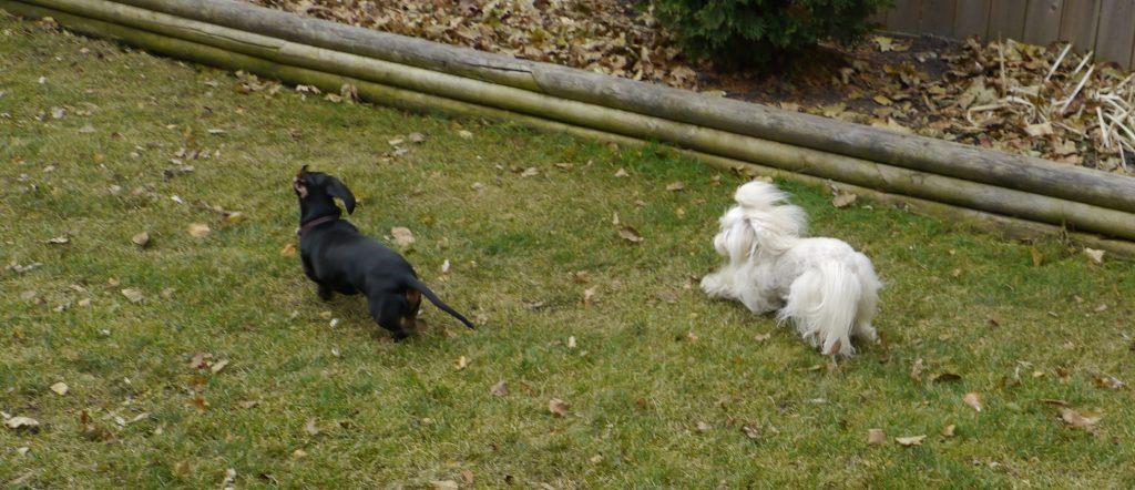 dachshund dog boarding coco rambo