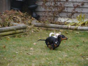 dachshund dog boarding play