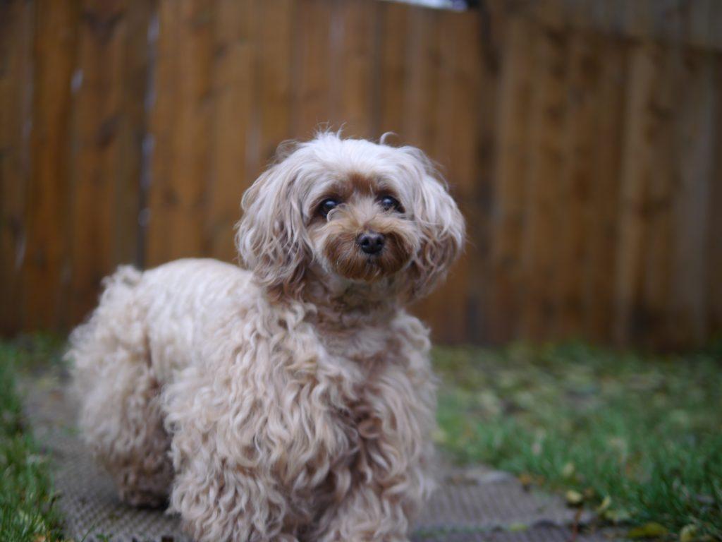dog photography poodle alert