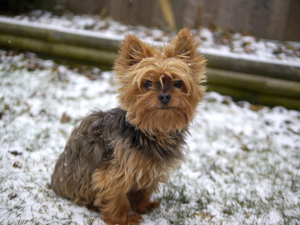 Yorkie snow doggie daycare