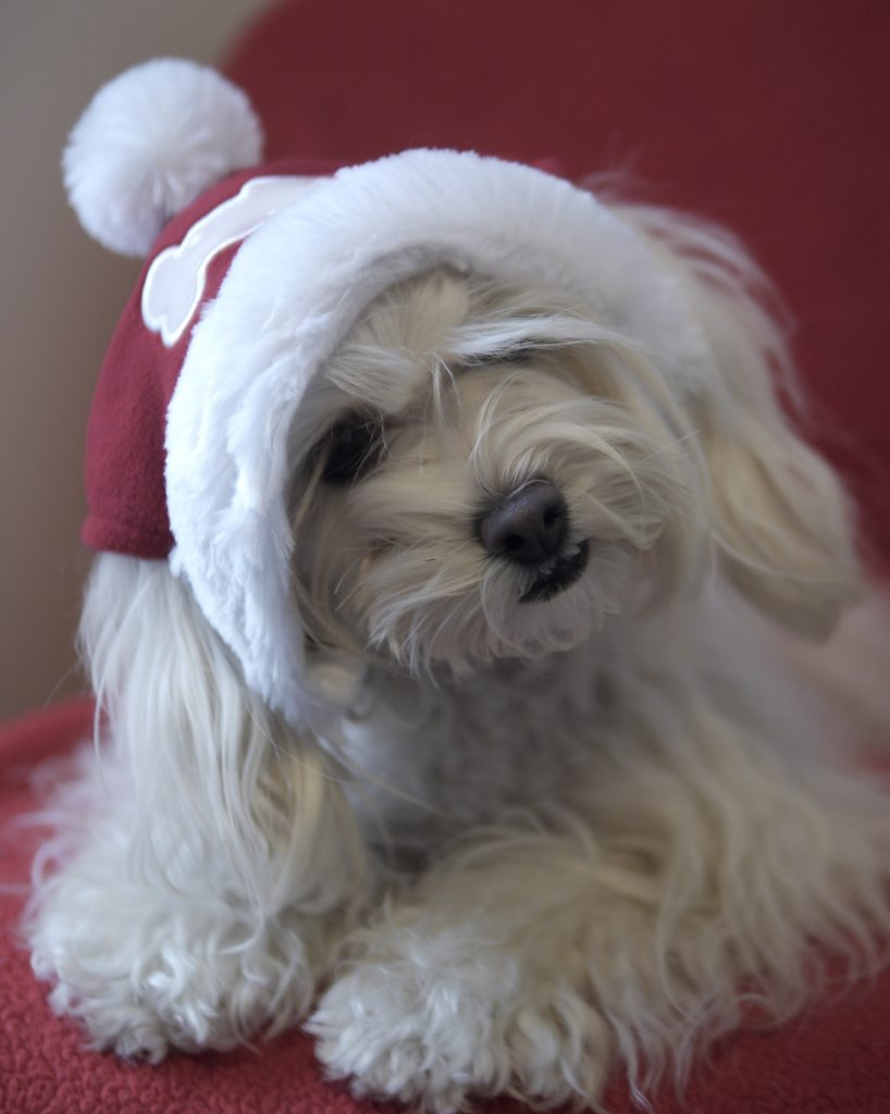 coco doggie christmas hat