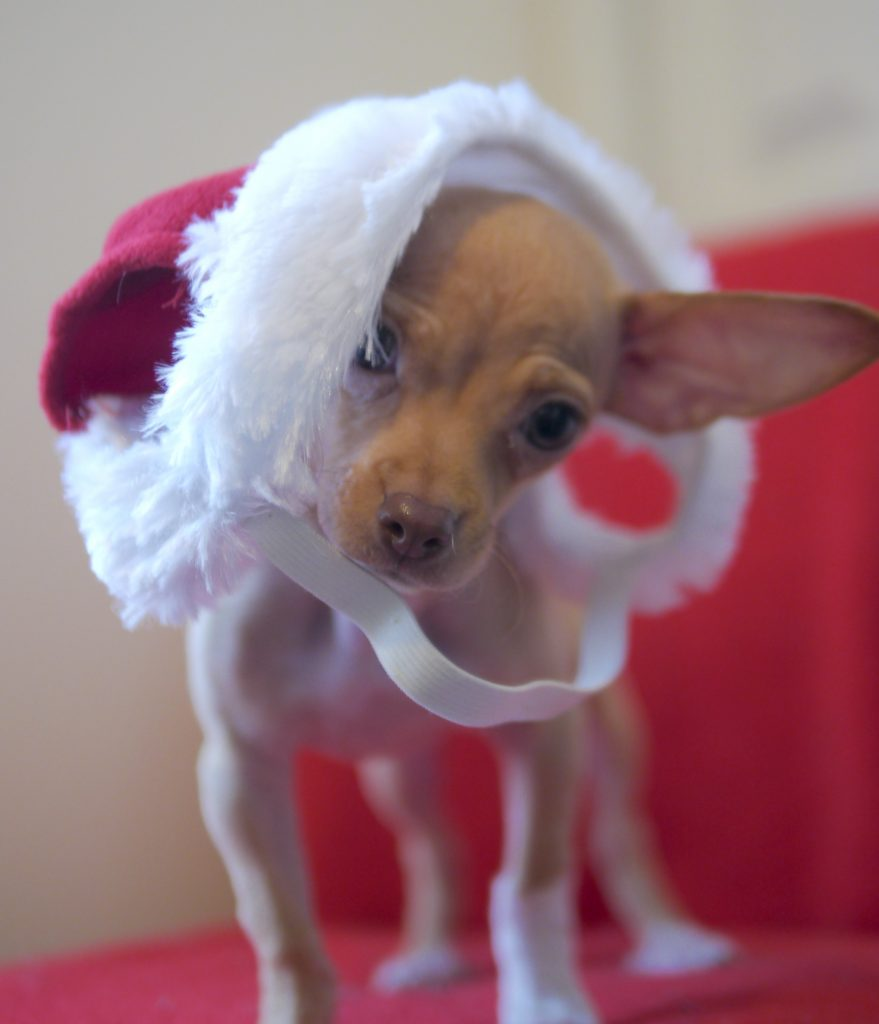 doggie christmas hat chanel