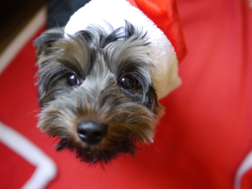 Milo the Yorkie's Christmas Hat