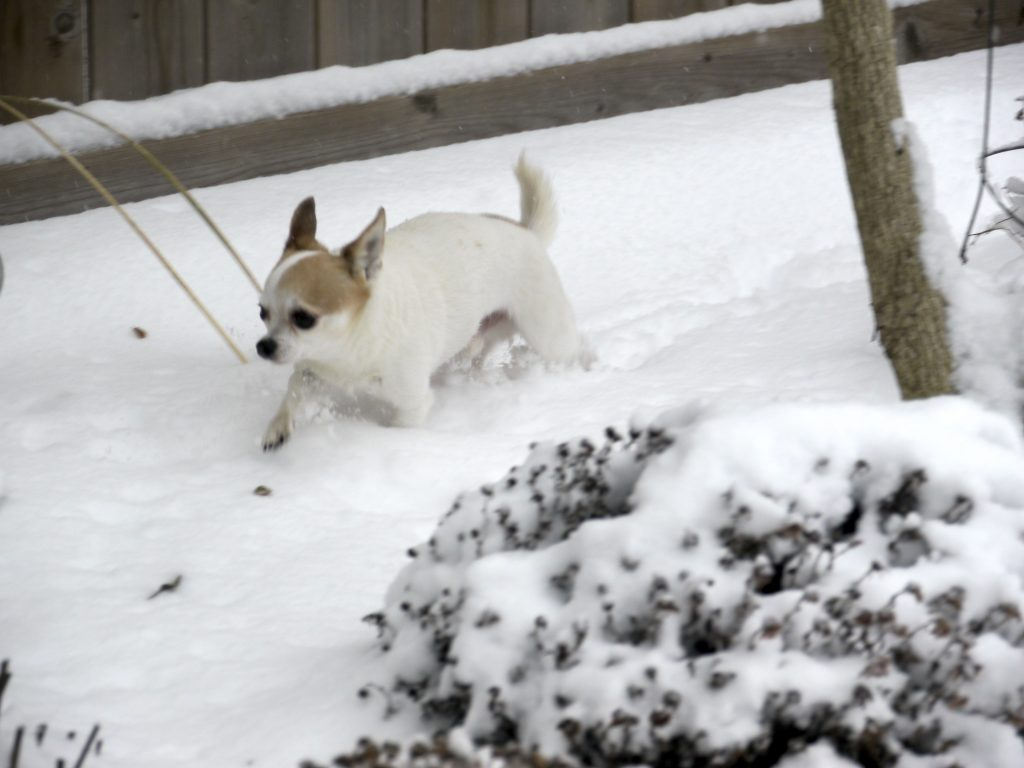 snow chihuahua