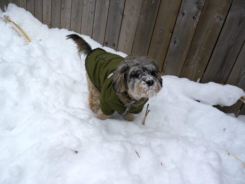 canadian winter dog