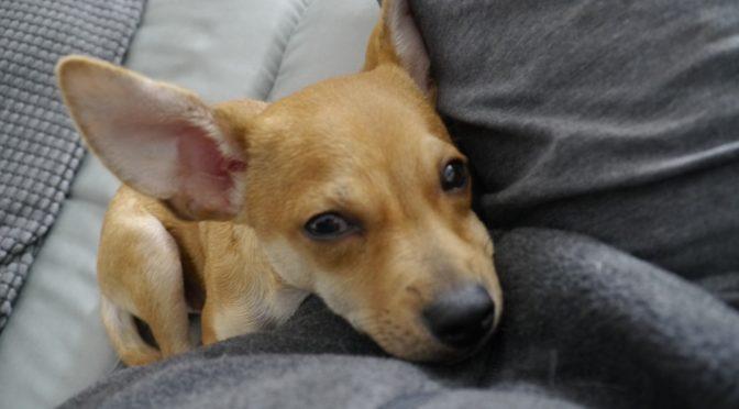 chihuahua dachshund boarding dog