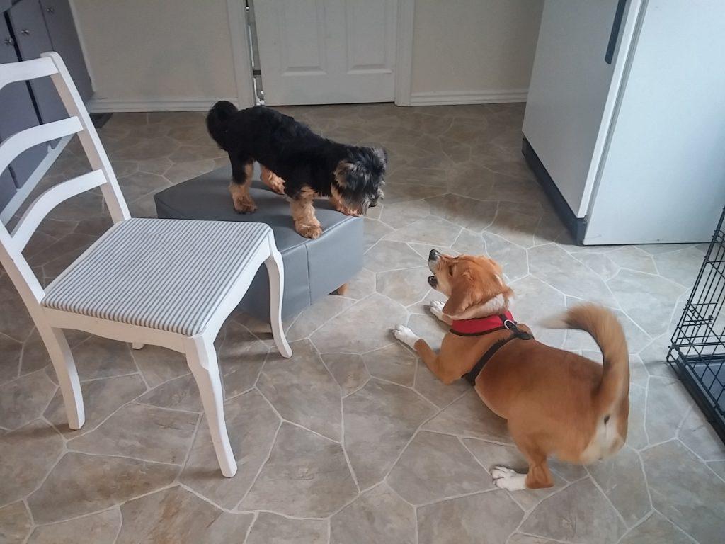 beagle rescue makes friends