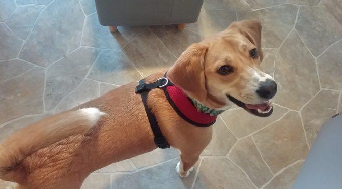 Beagle Rescue Saved By His Namesake