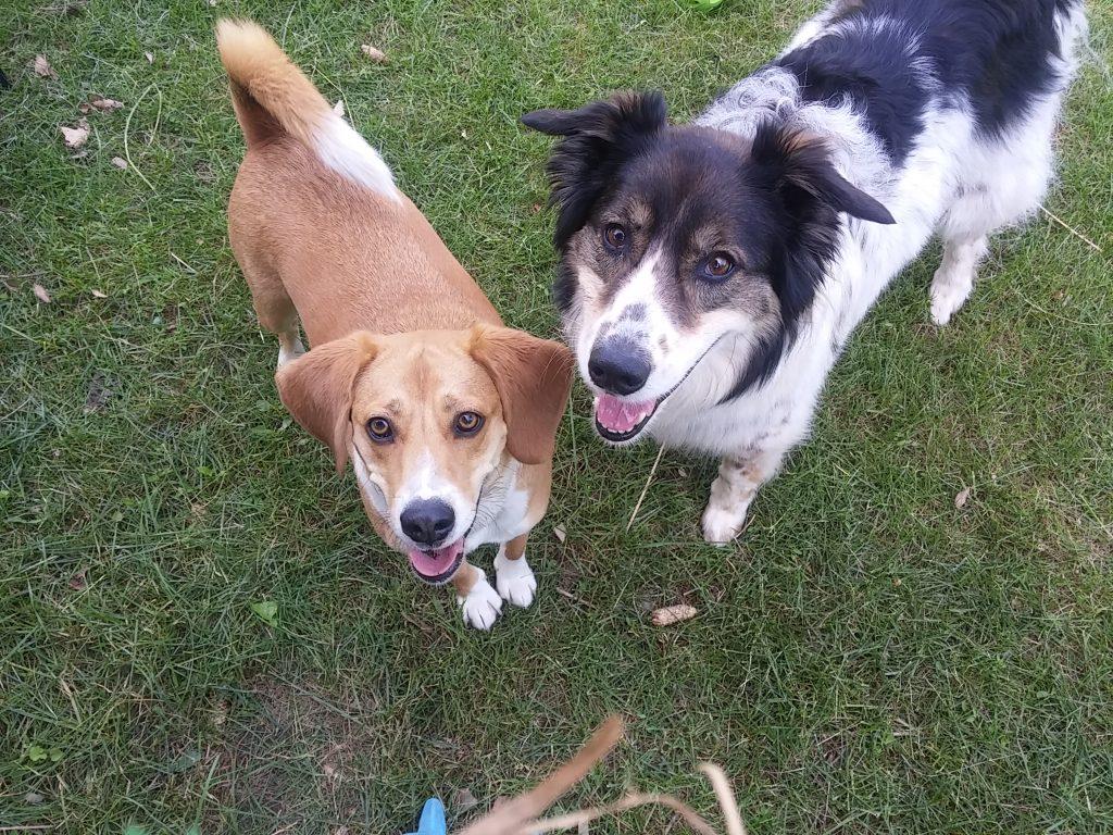Moe and Trooper Beagle Aussie Boarding