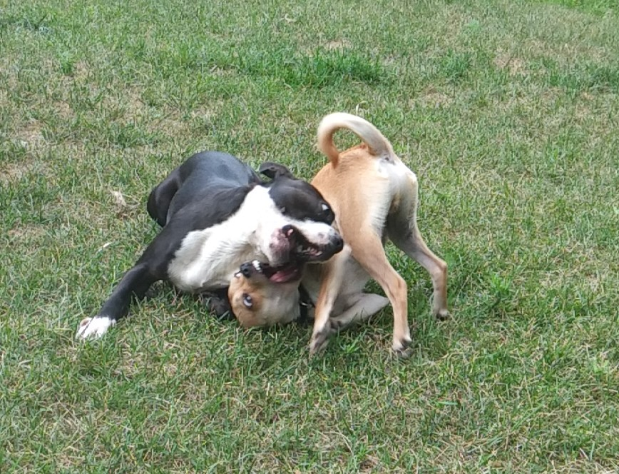 Chihuahua Boston Terrier dog boarding