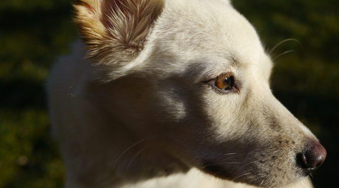 jindo dog photography