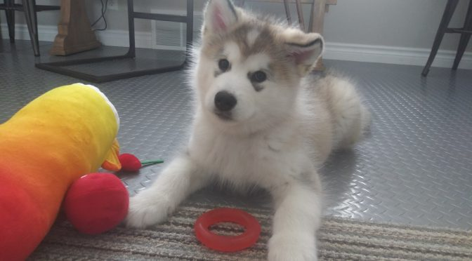 Malamute Puppy Love
