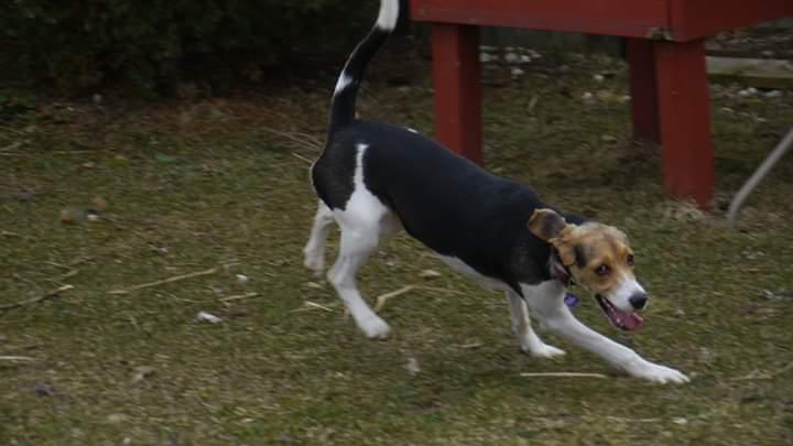 foxhound run