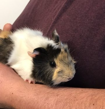 ADOPTED! Guinea Pigs Gals Need Furever Home