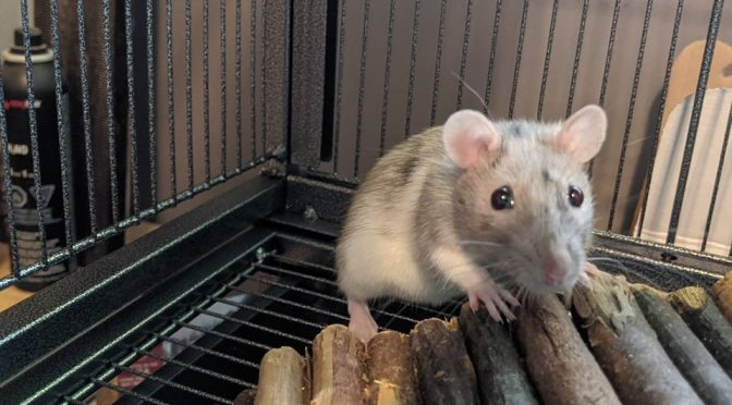 ADOPTED! Anastasia Lady Rat Looking for Furever Friends