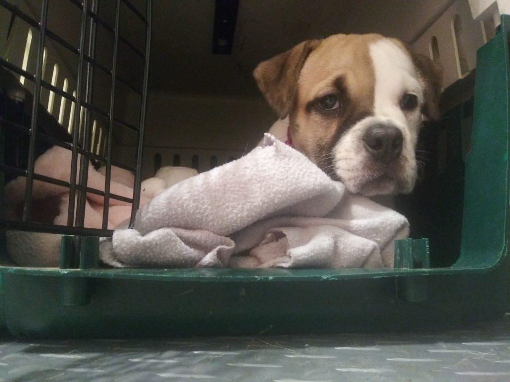 harley quinn bulldog at 8 weeks