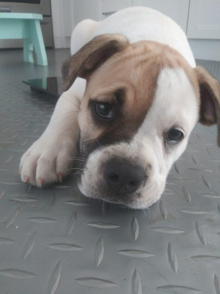 Harley Quinn bulldog puppy adopt